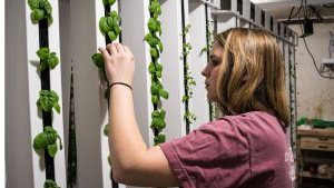 A student tends to plants in a ZipGrow Tower.